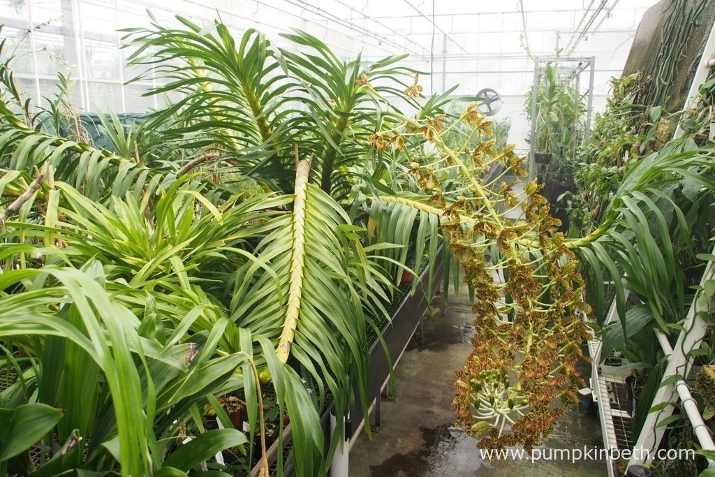 The largest orchid in the world, Grammatophyllum speciosum, also known as the Queen of Orchids, in flower in the Tropical Nursery, behind the scenes at The Royal Botanic Gardens, Kew. Photograph taken on 24th September 2015.