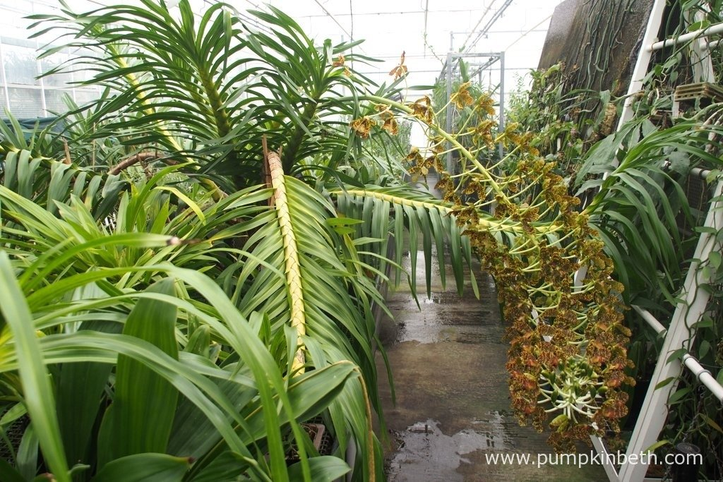 The largest orchid in the world, Grammatophyllum speciosum, also known as the Queen of Orchids, in flower at the Tropical Nursery at The Royal Botanic Gardens, Kew. Photograph taken on 24th September 2015.