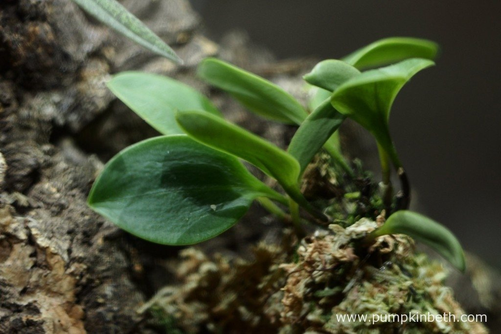 My Masdevallia decumana inside my Miniature Orchid BiOrbAir on 1st October 2015. This miniature orchid has produced a number of new, healthier looking, leaves over the past month.