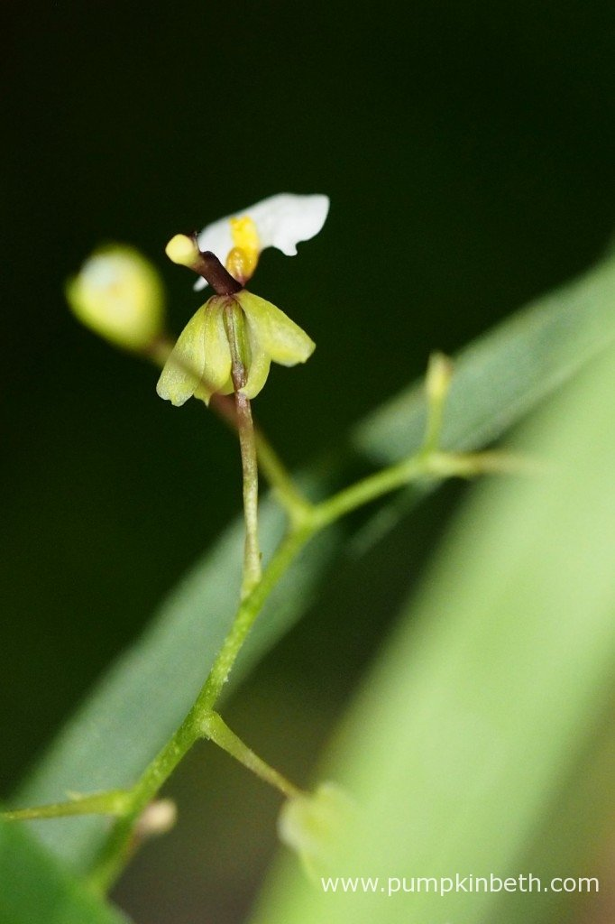 A close up of Ornithophora radicans. This miniature orchid is pictured in flower, inside my BiOrbAiR specialised terrarium on 7th October 2015.