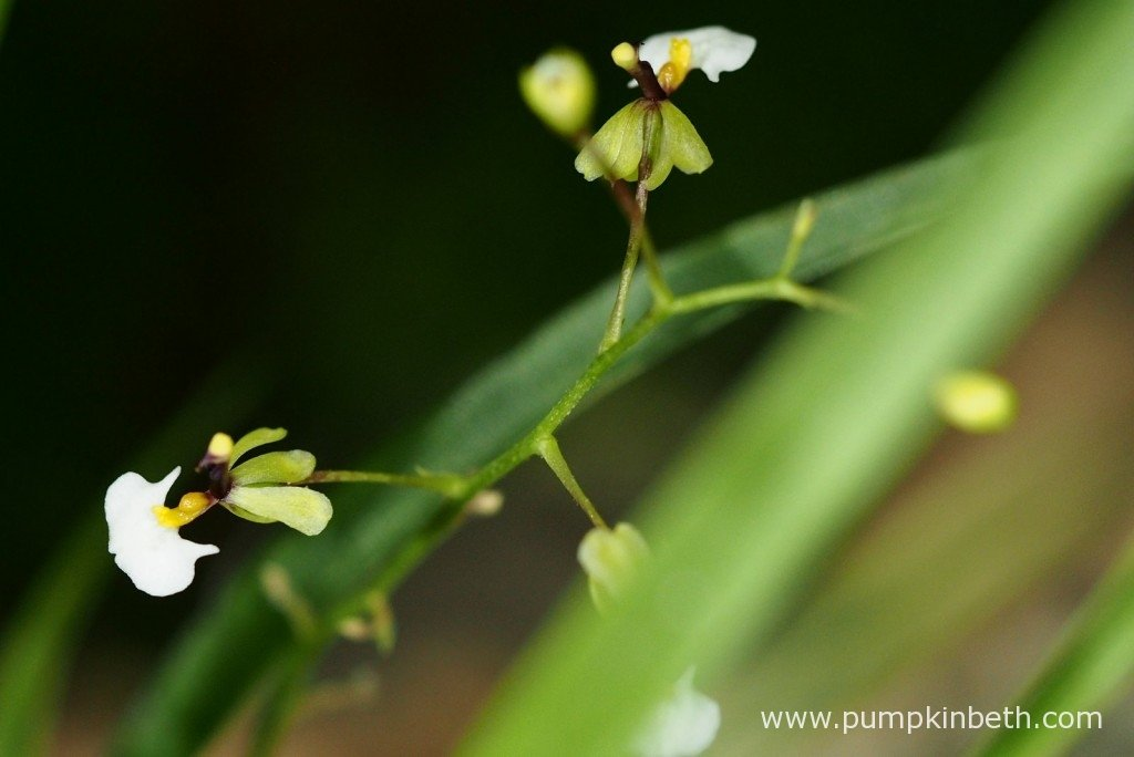 A close up of Ornithophora radicans in flower. This miniature orchid is pictured in flower, inside my BiOrbAiR, a specialised terrarium from Reef One, on 7th October 2015.