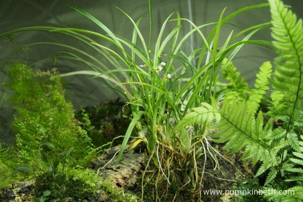 My BiOrbAiR, a specialised terrarium from Reef One, on 7th October 2015. Here you can see Ornithophora radicans in flower, together with Polystichum tsussimense, Nephrolepis exaltata 'Fluffy Ruffles' and Lepanthopsis astrophora 'Stalky' inside my BiOrbAir terrarium on 7th October 2015.