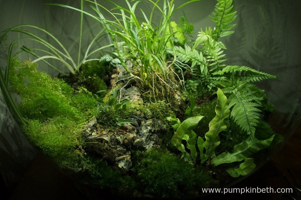 My BiOrbAiR, a specialised terrarium from Reef One, on 7th October 2015. Here you can see Ornithophora radicans in flower, together with Polystichum tsussimense, Nephrolepis exaltata 'Fluffy Ruffles' and Lepanthopsis astrophora 'Stalky', Asplenium nidus 'Crispy Wave' and Chlorophytum comosum 'Variegatum'.