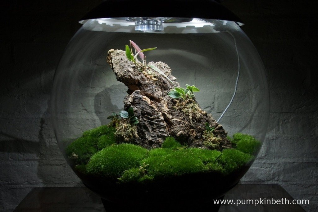 My Miniature Orchid Trial BiOrbAir Terrarium, as pictured on the 7th October 2015.