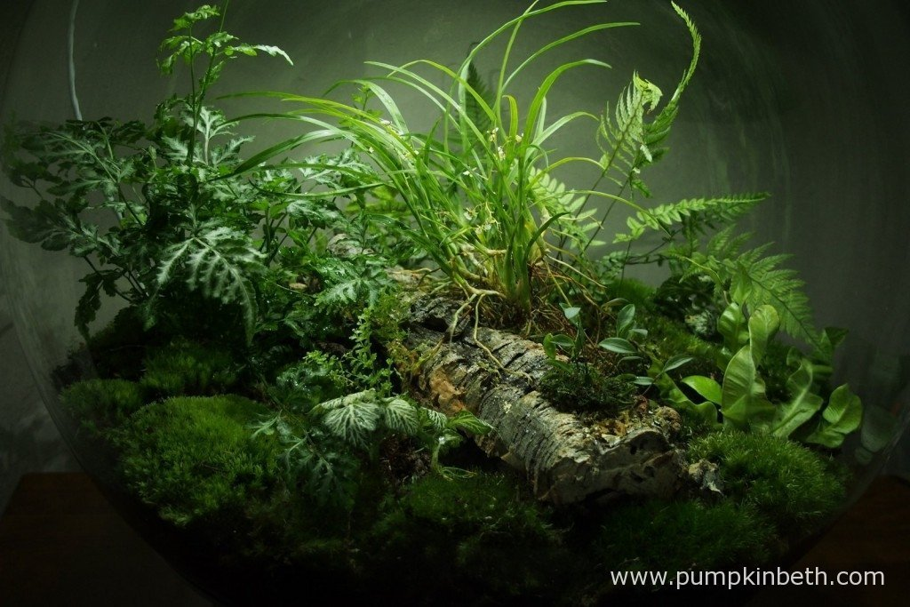 Here's another view of the planting inside my BiOrbAir terrarium. I took this photograph on 18th October 2015, after I had lifted my Nephrolepis exaltata 'Fluffy Ruffles', I then removed all of the damaged fronds and then replanted the sorry looking remains of the fern back inside my BiOrbAir. Today I also planted a new fern - Pteris ensiformis 'Evergemienis' - as you can see in this photograph.