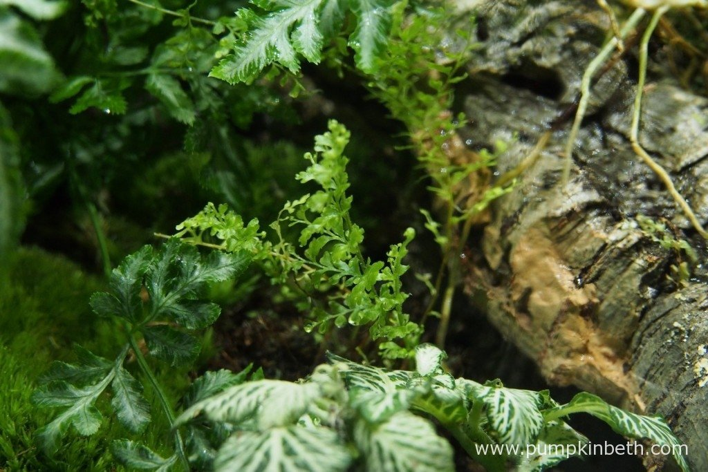Here you can see what remains of my Nephrolepis exaltata 'Fluffy Ruffles' - not much! I lifted this fern and removed all of the damaged fronds and then re-planted it inside my BiOrbAir terrarium.