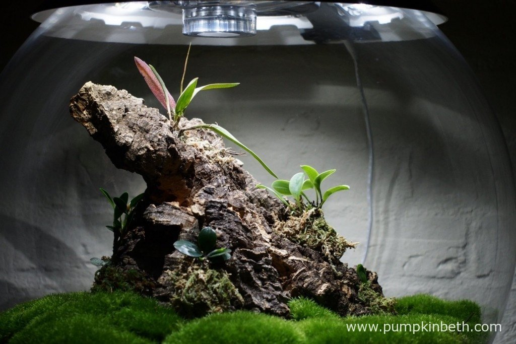 My Miniature Orchid BiOrbAir terrarium on 6th November 2015.