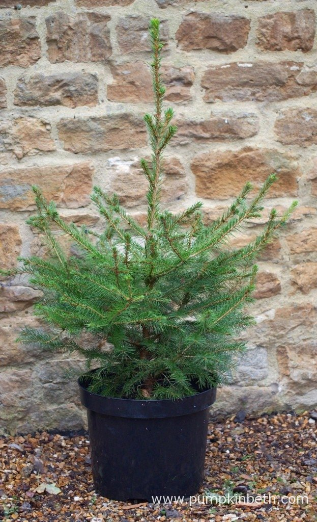 A live, potted, Norway Spruce Christmas tree from Wheeler Street Nurseries in Witley. This is one of the smaller trees that Wheeler Street Nurseries have available - this size tree is priced at £15 - £17 - with a £5 Wheeler Street Voucher presented if you return the tree, in good condition, before the end of January.