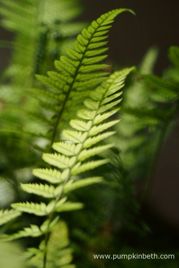 This Polystichum tsussimense is such an attractive fern, I am glad I included it in my planting list for my BiOrbAir terrarium. This fern was included in the original, very first planting of this terrarium back in September 2014. The same Polystichum is pictured here on 17th November 2015, inside my BiOrbAir terrarium.
