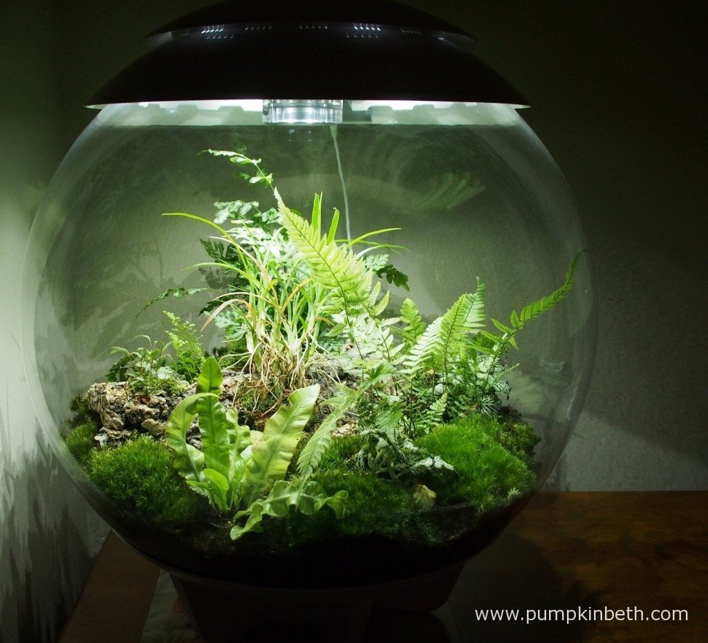 My BiOrbAir terrarium before I removed the dead leaves from the Ornithophora radicans on 6th November 2015.