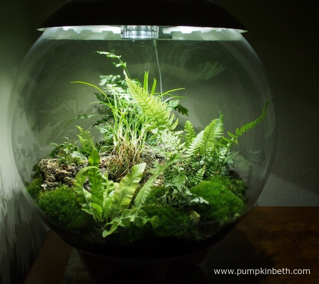 My BiOrbAir terrarium after I had removed the dead leaves from the Ornithophora radicans on 6th November 2015.