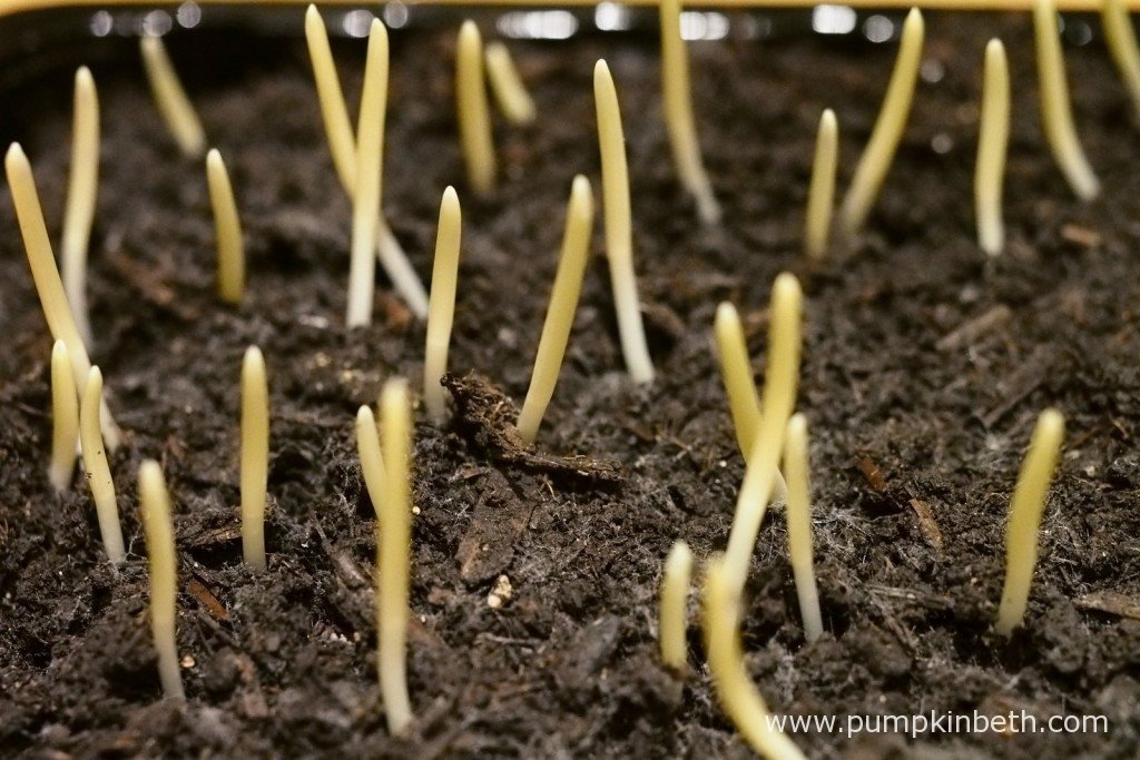 Suttons Seeds F1 Bodacious Sweet Corn Shoots pictured on the 4th December 2015 - the second day after germination.