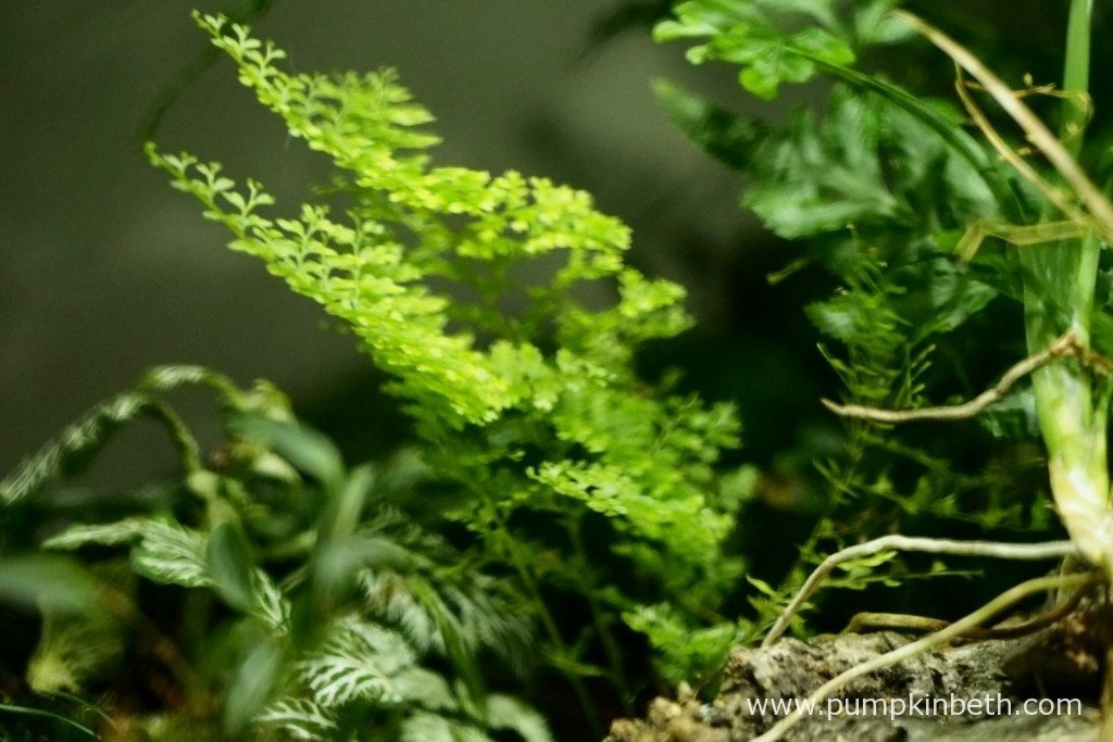 I am glad I decided to cut back my Nephrolepis exaltata 'Fluffy Ruffles' as this pretty fern is producing some lovely new growth. Pictured on 8th December 2015.