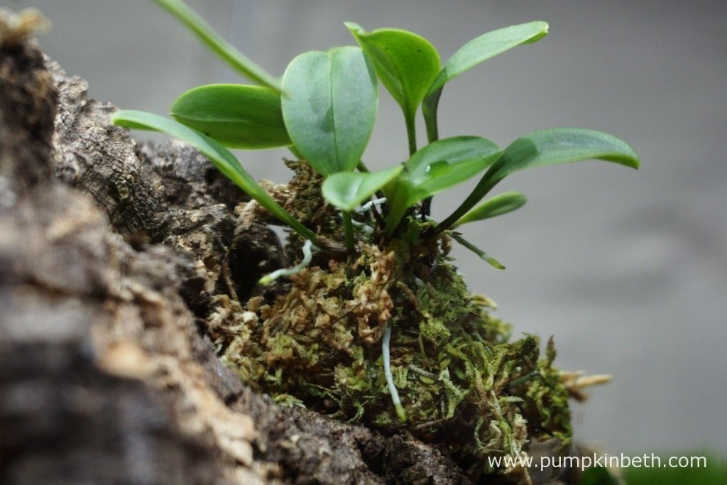My Masdevallia decumana inside my Miniature Orchid Trial BiOrbAir Terrarium on 20th December 2015. I am so happy to see this miniature orchid looking so healthy! This Masdevallia decumana has produced a number of new leaves and a number of new aerial roots, which is great to see; the leaves are a beautiful, and very healthy looking green colour.