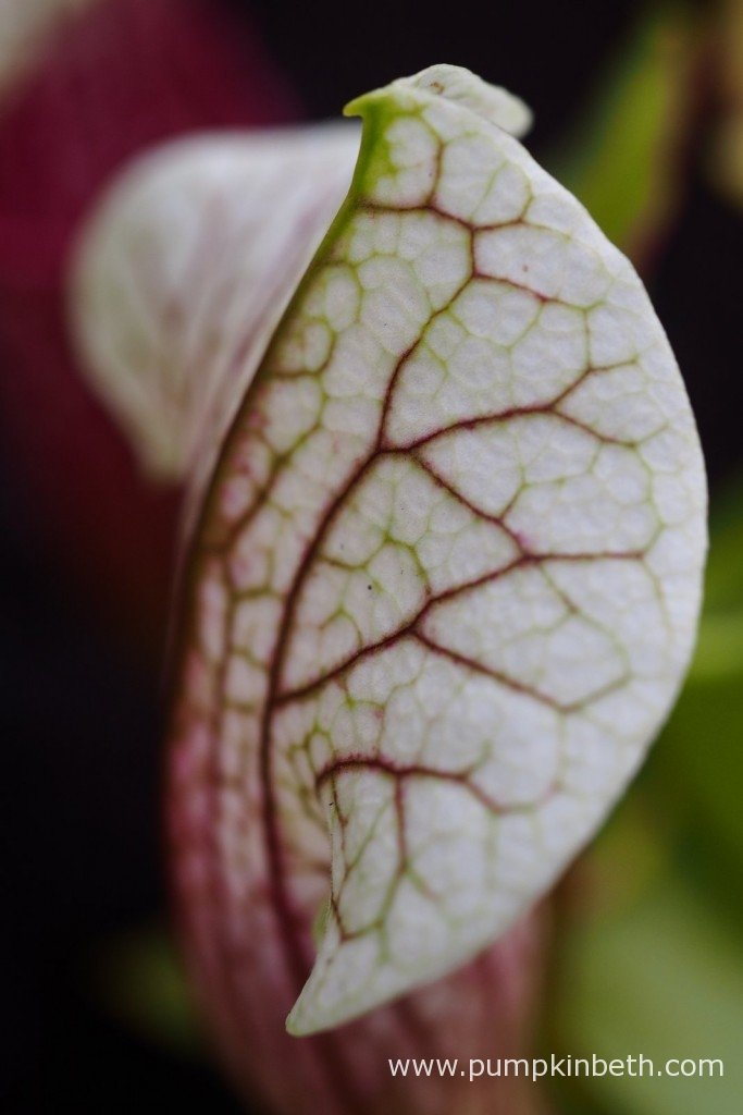This is a close up of Sarracenia cv. Eva, showing a trumpet with red veining.