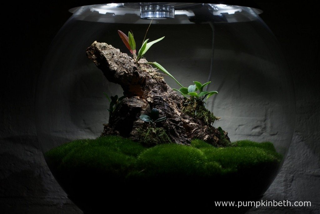 My Miniature Orchid Trial BiOrbAir Terrarium as pictured on the 1st January 2016.