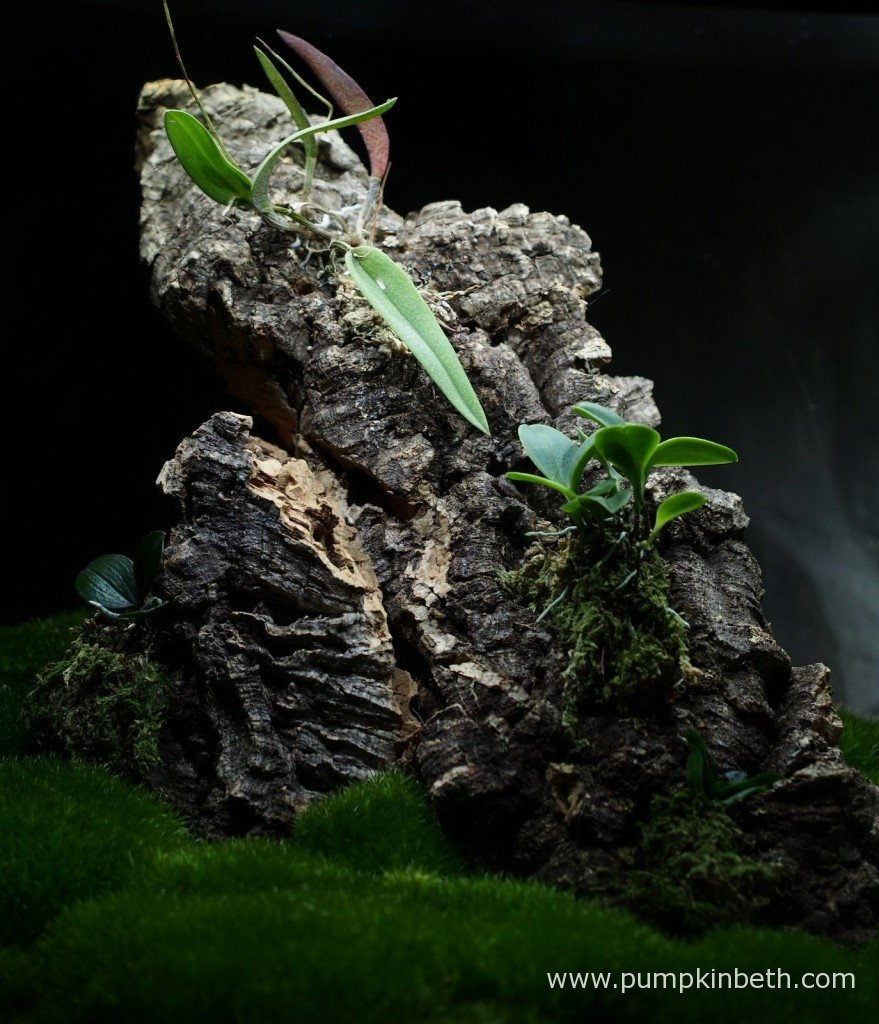 A closer photograph of my miniature orchids mounted on cork bark inside my Miniature Orchid Trial BiOrbAir Terrarium as pictured on the 1st January 2016.
