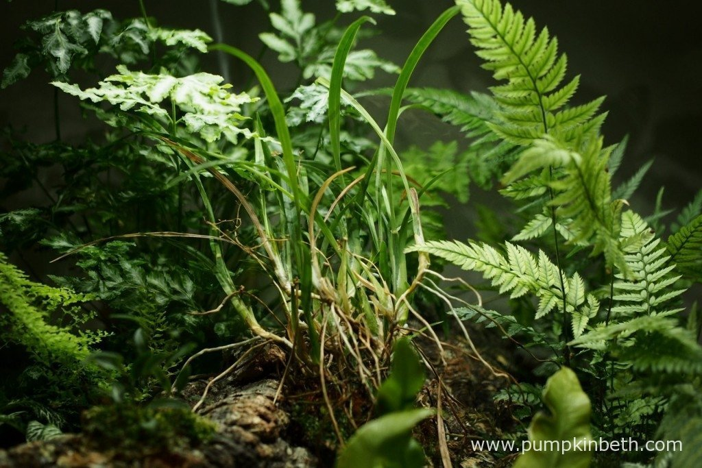 My Ornithophora radicans has steadily lost a number of leaves since it has been growing inside my BiOrbAir terrarium. Here is my Ornithophora radicans as pictured on the 1st January 2016.