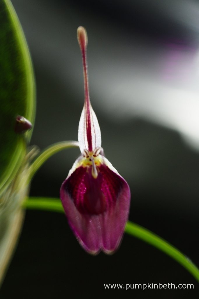 My Restrepia sanguinea, in flower, inside my BiOrbAir terrarium, on the 15th January 2016.