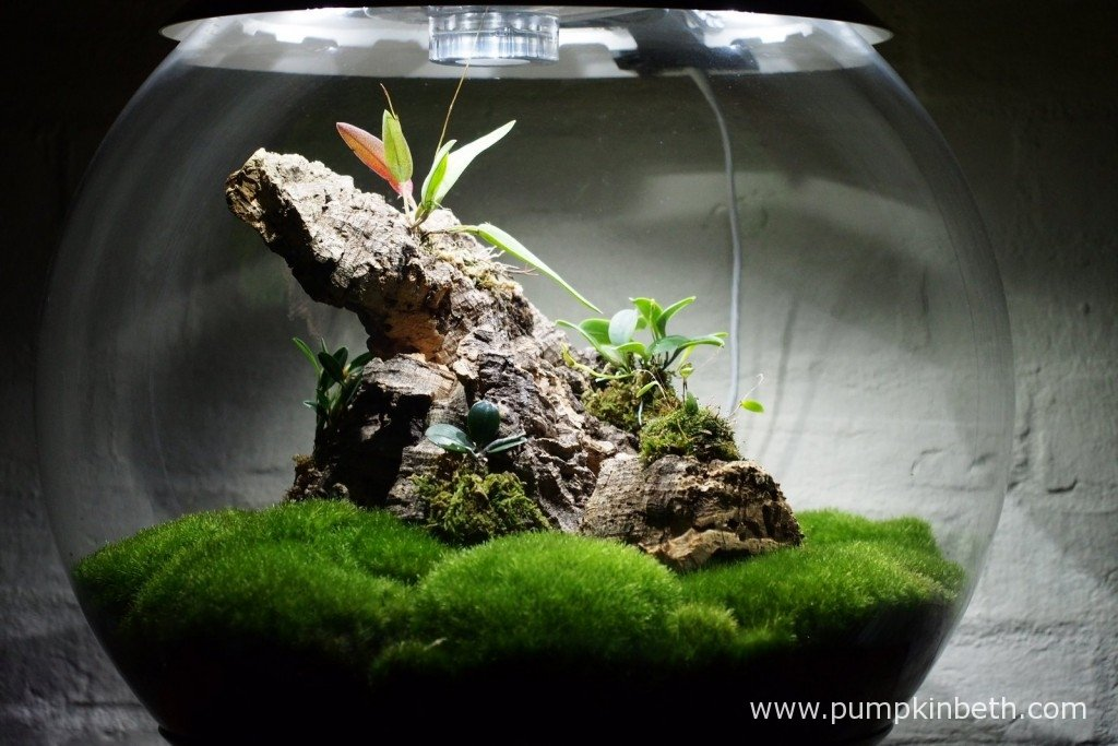 My Miniature Orchid Trial BiOrbAir Terrarium, as pictured on the 17th January 2016, after the addition of a new miniature orchid, Lepanthopsis astrophora 'Stalky', which was first mounted onto a piece of cork bark, and then added to the terrarium.