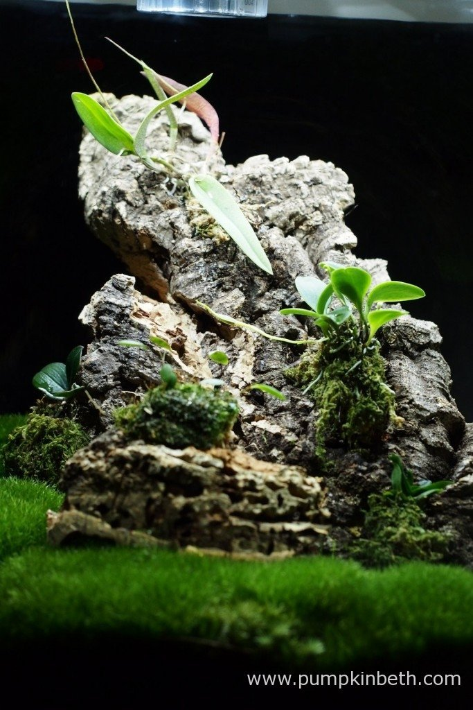 A close up of my Miniature Orchid Trial BiOrbAir Terrarium, as pictured on the 17th January 2016, after the addition of a new miniature orchid, Lepanthopsis astrophora 'Stalky', which was first mounted onto a piece of cork bark, and then added to the terrarium.