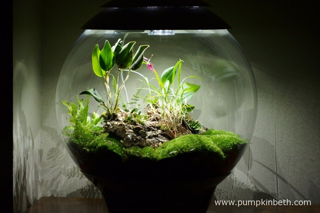 My BiOrbAir terrarium, as pictured on the 17th January 2016. I am enjoying looking at the attractive flower of my Restrepia sanguinea, it's a vibrant, warm, plum coloured pink flower and is about an inch in size.