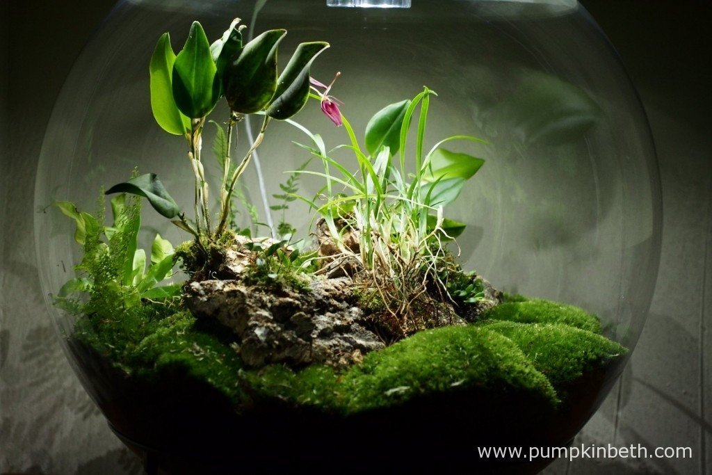 My BiOrbAir terrarium, as pictured on the 17th January 2016. As you can see, my Restrepia sanguinea is in flower, its large, brightly coloured flowers add a beauty to my terrarium.