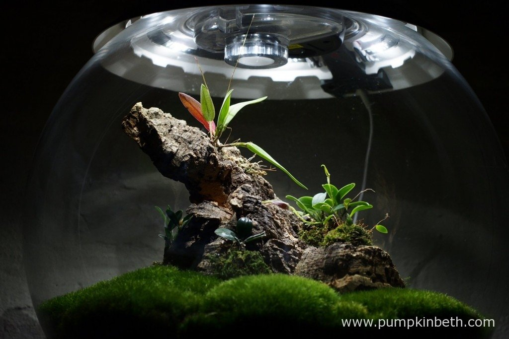 My Miniature Orchid Trial BiOrbAir Terrarium, as pictured on the 22nd January 2016. Inside this terrarium my Domingoa, Masdevallia and Lepanthopsis are all coming into flower!