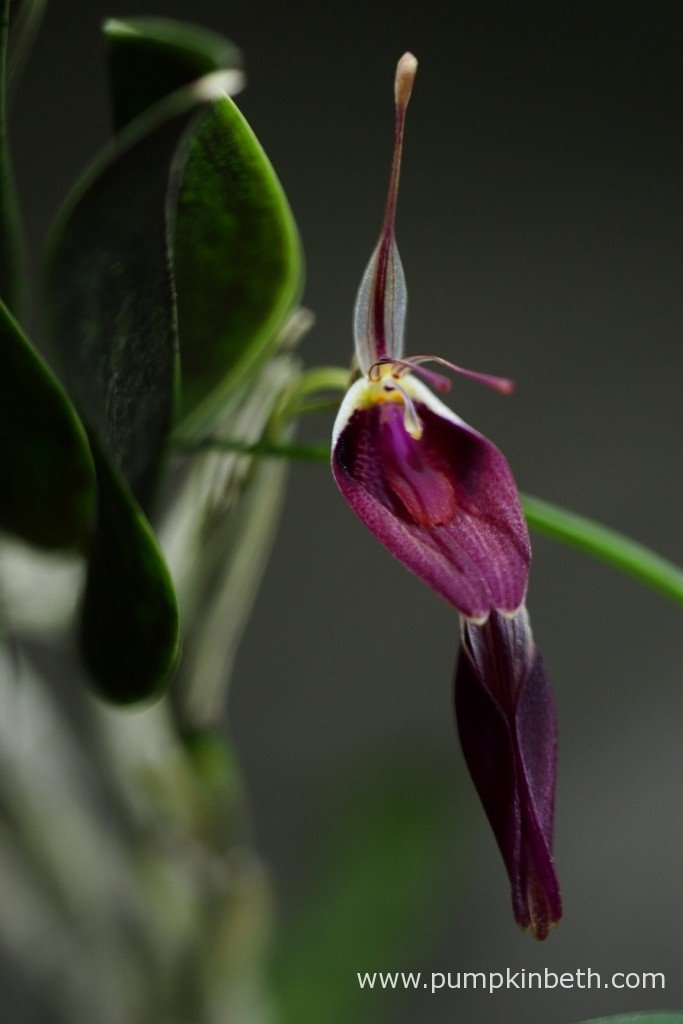 My Restrepia sanguinea, in flower, inside my BiOrbAir terrarium on the 24th January 2016.