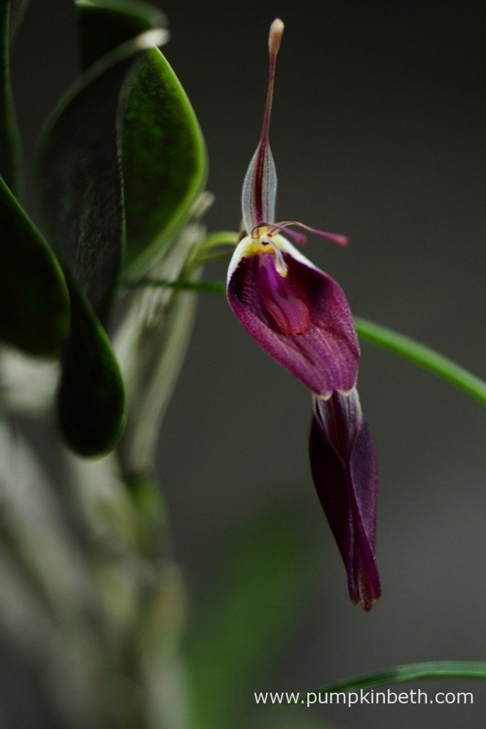 Restrepia sanguinea, in flower inside my BiOrbAir terrarium on the 24th January 2016.