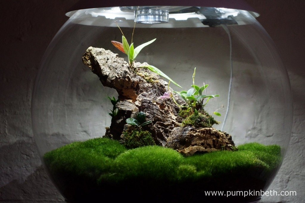 My Miniature Orchid Trial BiOrbAir Terrarium, as pictured on the 26th January 2016. The first flower on my Masdevallia decumana opened inside this terrarium today.