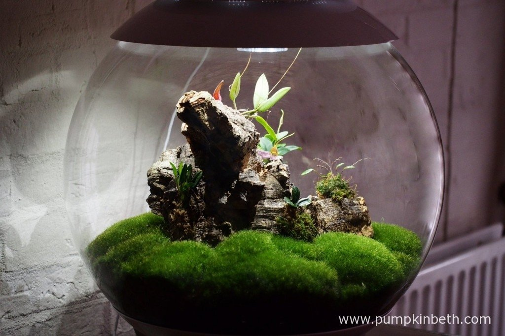 My Miniature Orchid Trial BiOrbAir Terrarium as pictured on the 26th January 2016. My Masdevallia decumana is flowering inside this terrarium, and two of my other miniature orchids are in the earliest stages of flowering.