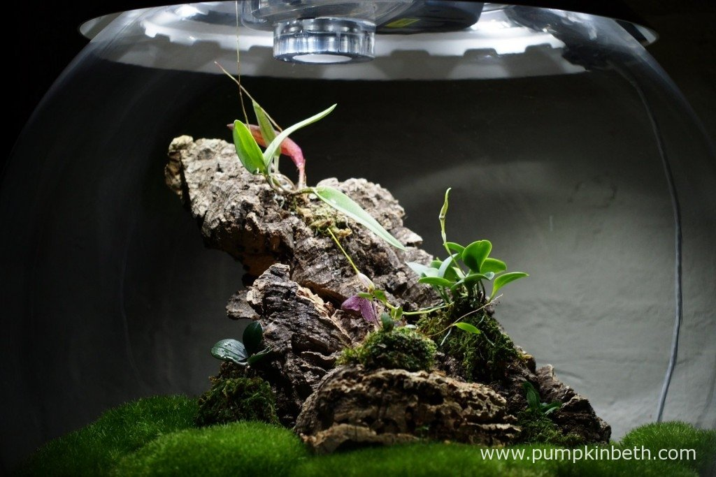 My Miniature Orchid Trial BiOrbAir Terrarium as pictured on the 26th January 2016.