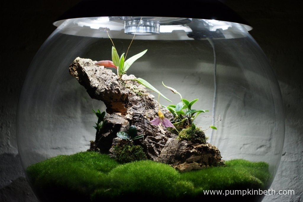 My Miniature Orchid Trial Terrarium, as pictured on the 30th January 2016. I so enjoy watching these beautiful miniature orchids growing inside my automated, specialised terrarium.