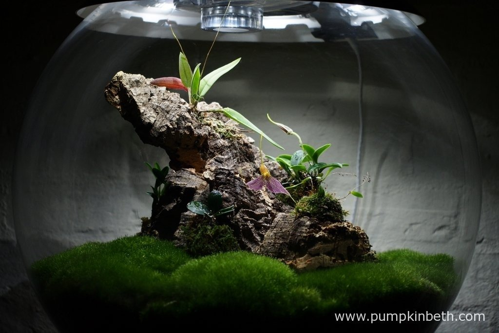My Miniature Orchid Trial Terrarium, as pictured on the 30th January 2016. In this photograph you can see my Masdevallia decumana and my Lepanthopsis astrophora 'Stalky' in flower inside my BiOrbAir terrarium.
