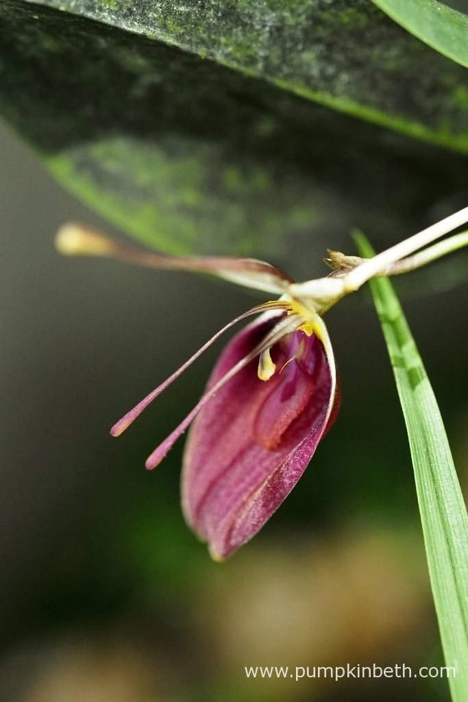 Restrepia sanguinea in flower, as pictured inside my BiOrbAir terrarium, on the 30th January 2016.