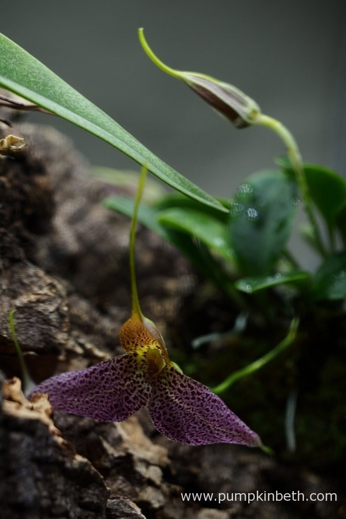 Here's another photograph of my Masdevallia decumana flowering inside my Miniature Orchid Trial BiOrbAir Terrarium.