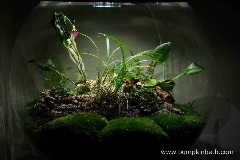 My BiOrbAir terrarium, as pictured on the 30th January 2016. In this photograph you can see the large, elegant flowers of the Restrepia sanguinea, I recently purchased this orchid from Burnham Nurseries in the UK. I have been so enjoying looking at this Restrepia's large, raspberry pink coloured flowers, they are utterly captivating.