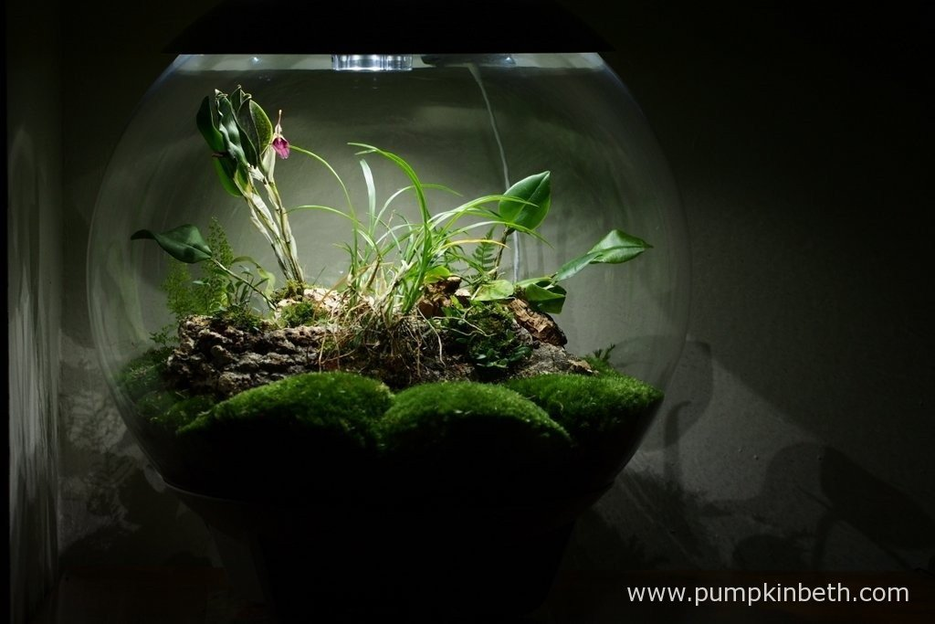 My BiOrbAir terrarium, as pictured on the 30th January 2016. Here you can see my Restrepia sanguinea is in full flower, and my Lepanthopsis astrophora 'Stalky' is just about to come into bloom.