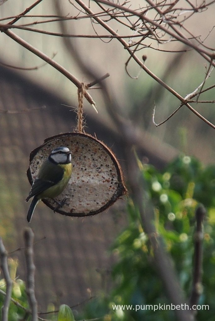 Here's a Blue Tit we saw this morning as part of the RSPB's Big Garden Birdwatch 2016.
