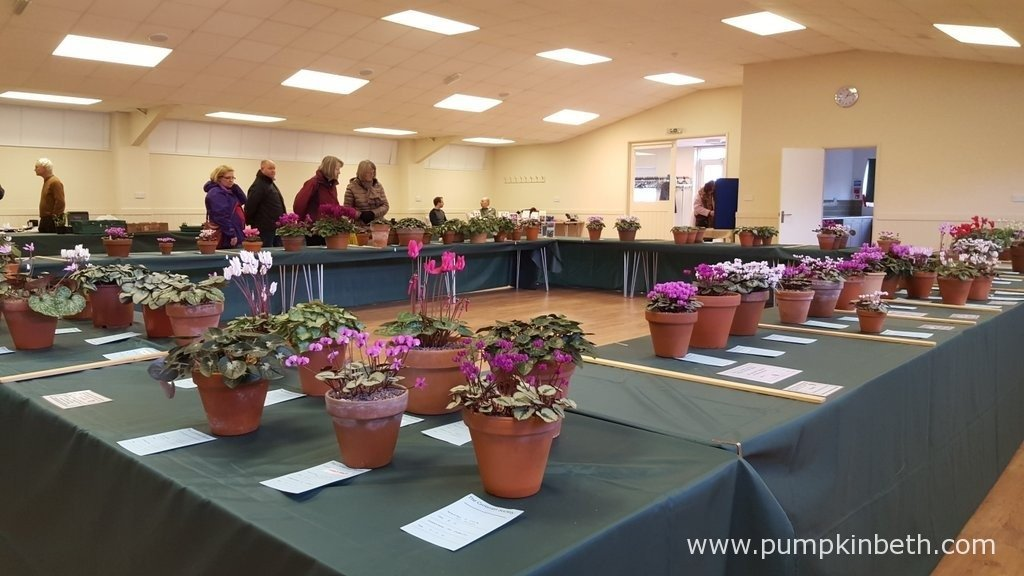 The Cyclamen Society Show at RHS Garden Wisley, 7th February 2016.