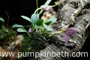 Planting List for The Miniature Orchid Trial BiOrbAir Terrarium