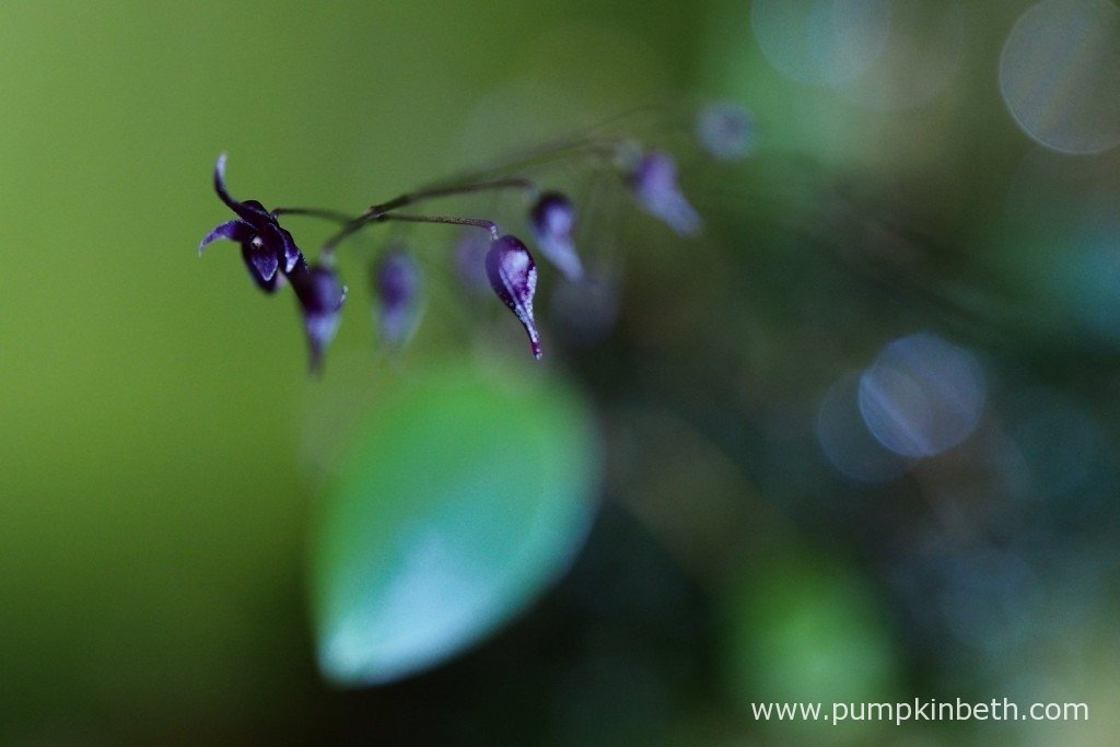 Lepanthopsis astrophora 'Stalky' as pictured in flower, inside my Miniature Orchid Trial BiOrbAir Terrarium on the 5th February 2016.
