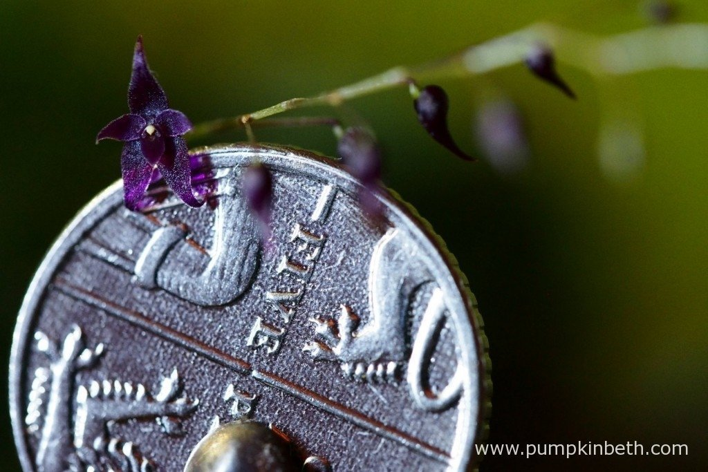 Lepanthopsis astrophora 'Stalky' as pictured in flower, next to a British five pence piece, included to demonstrate the diminutive size of its rather wonderful, enchanting flowers. Pictured inside my Miniature Orchid Trial BiOrbAir Terrarium, on the 5th February 2016.