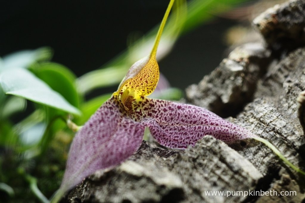 Here's a close up of my Masdevallia decumana in full bloom, as pictured here on the 5th February 2016, inside my Miniature Orchid Trial BiOrbAir Terrarium.