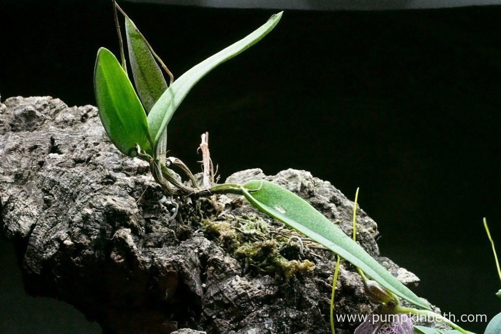 Here's my Domingoa purpurea, this time pictured on the 5th February 2016, inside my Miniature Orchid Trial BiOrbAir Terrarium. The oldest leaf dropped from this miniature orchid today.