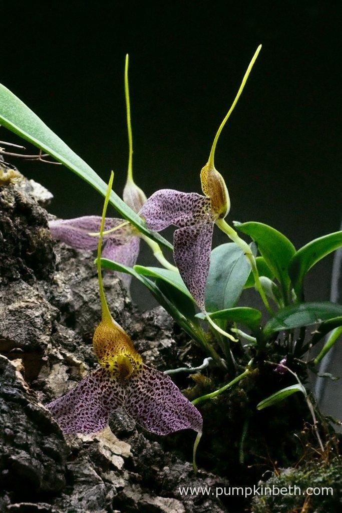 Here's my Masdevallia decumana in full flower, as pictured here on the 5th February 2016, inside my Miniature Orchid Trial BiOrbAir Terrarium.