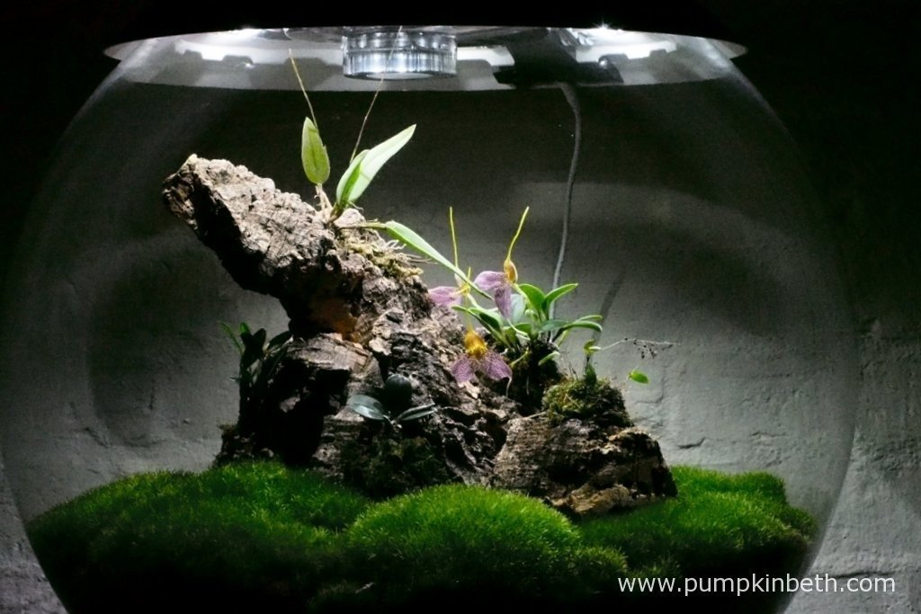Here's my Miniature Orchid Trial BiOrbAir Terrarium, as pictured on the 5th February 2016. Currently I have a Masdevallia decumana and an Lepanthopsis astrophora 'Stalky' in full flower, and a Domingoa purpurea just coming into flower! I get so much pleasure from my BiOrbAir terrarium and the miniature orchids I grow inside it.