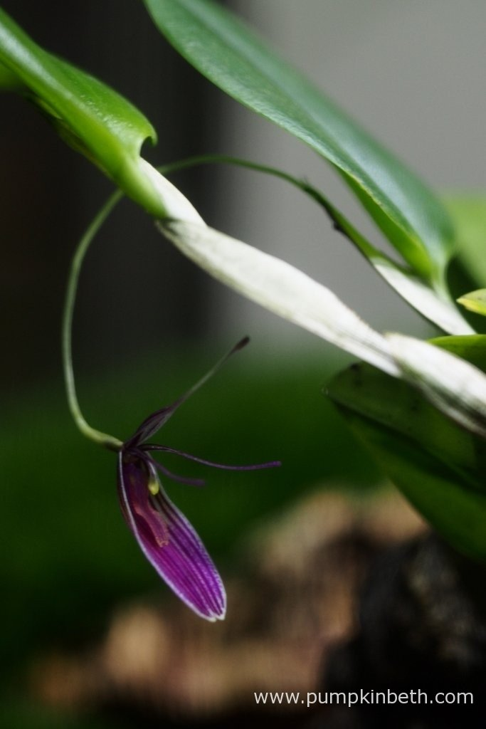 Here's a photograph I took on the 10th February 2016, of my Restrepia purpurea 'Rayas Vino Tinto' in bloom. This miniature orchid has striped pink flowers, that are about 3/4 of an inch (2cm) in size.