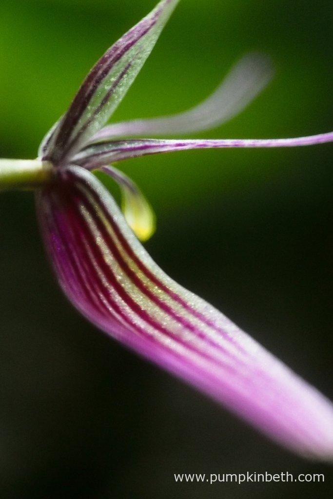 Restrepia purpurea 'Rayas Vino Tinto' in flower.